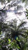 helecho arborescente